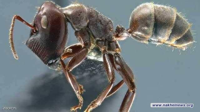 """""""النمل الانتحاري"""" .. فصيلة جديدة يكتشفها العلماء"""