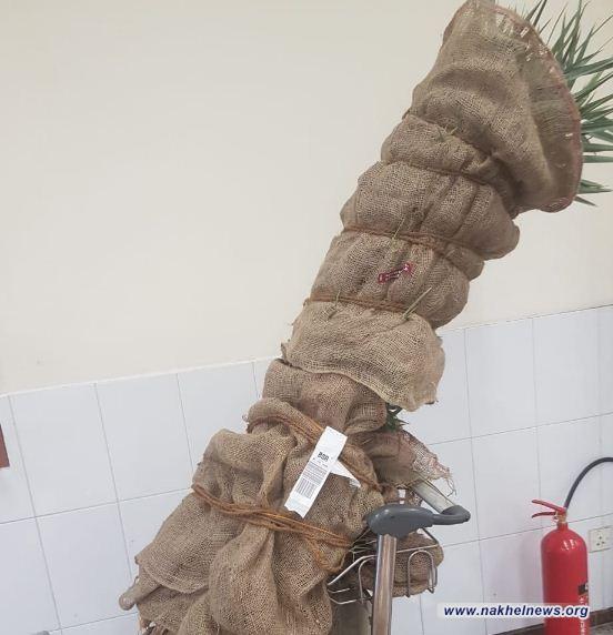الكمارك: ضبط فسائل نخيل قطرية بصحبه مسافر عراقي في مطار البصرة