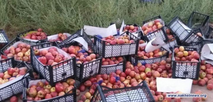 المنافذ تعلن إتلاف شحنة تفاح غير مسموح باستيرادها في منفذ الشيب الحدودي